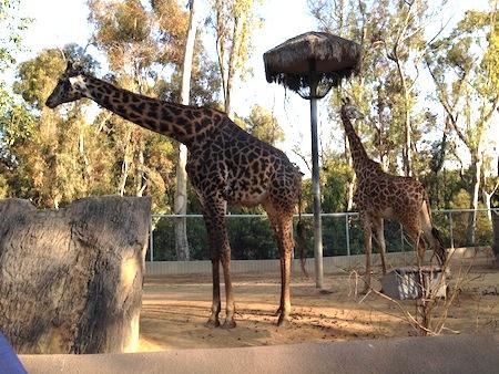 giraffes san diego zoo